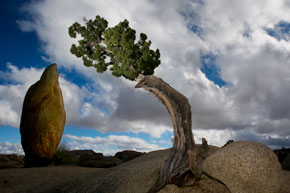 A Juniper Tree and Joshua Tree at Joshua Tree National Park in the Mojave and Colorado Deserts of southern California