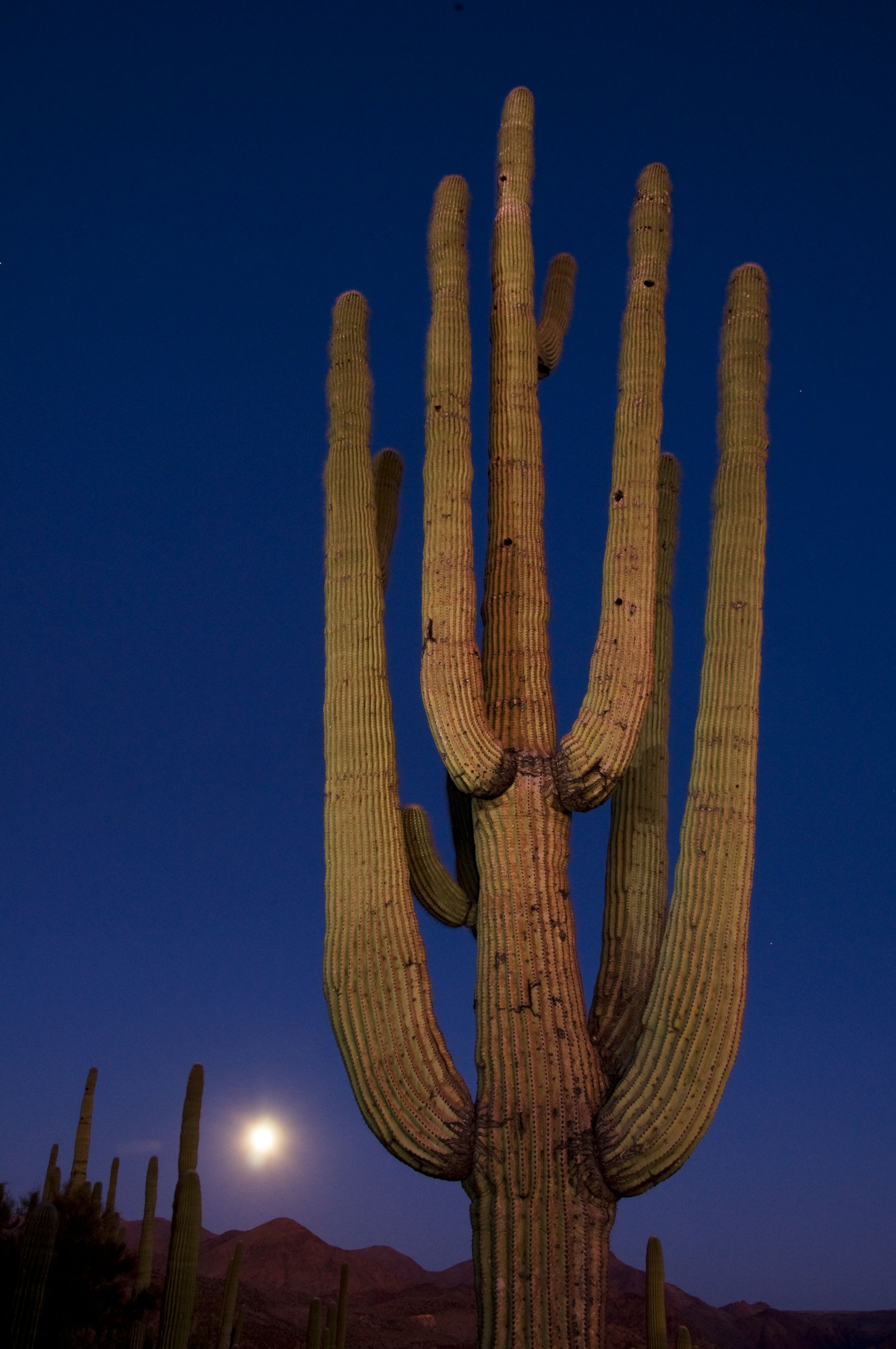 Saguaro cactus at twilight with rising moon along the New River, Arizona