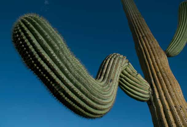 Saguaro Cactus in the Tucson Mts. (Sagauro National Park West), Arizona