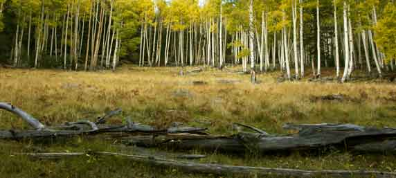 Aspen trees with fall colors in the Kachina Peaks Wilderness of the San Francisco Peaks of northern Arizona