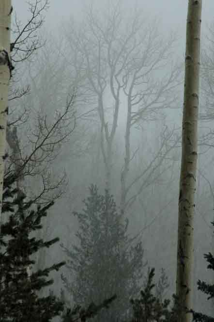 Winter with misty aspens in the San Francisco Peaks, Arizona