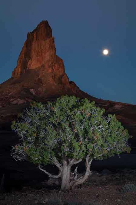Moon and juniper tree at Agathla Peak in the high desert south of Monument Valley on the Navajo Nation, Arizona
