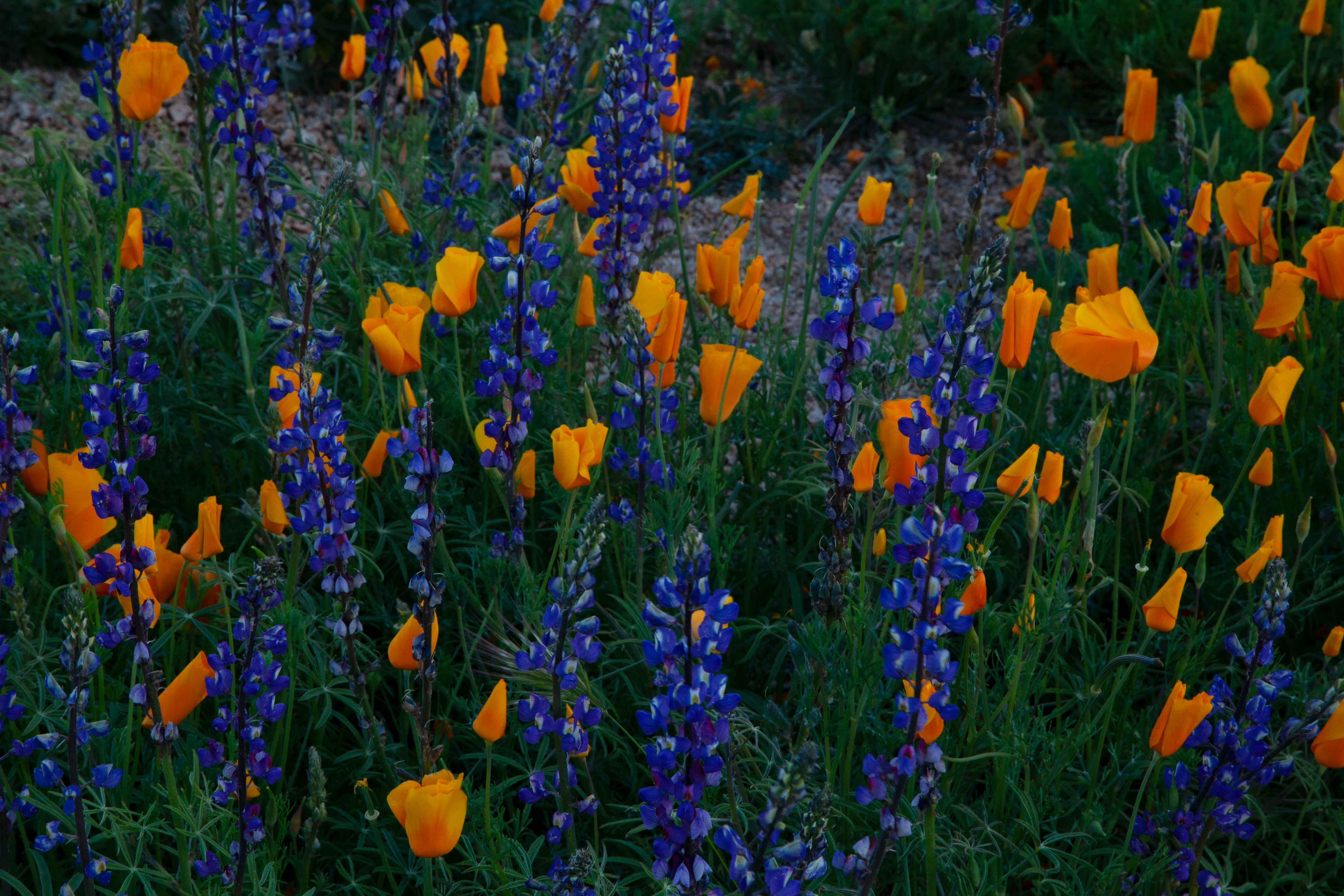 Desert wildflowers (Lupins and Mexican Goldpoppies) in spring near Bartlett Lake in the Arizona Sonoran Desert.