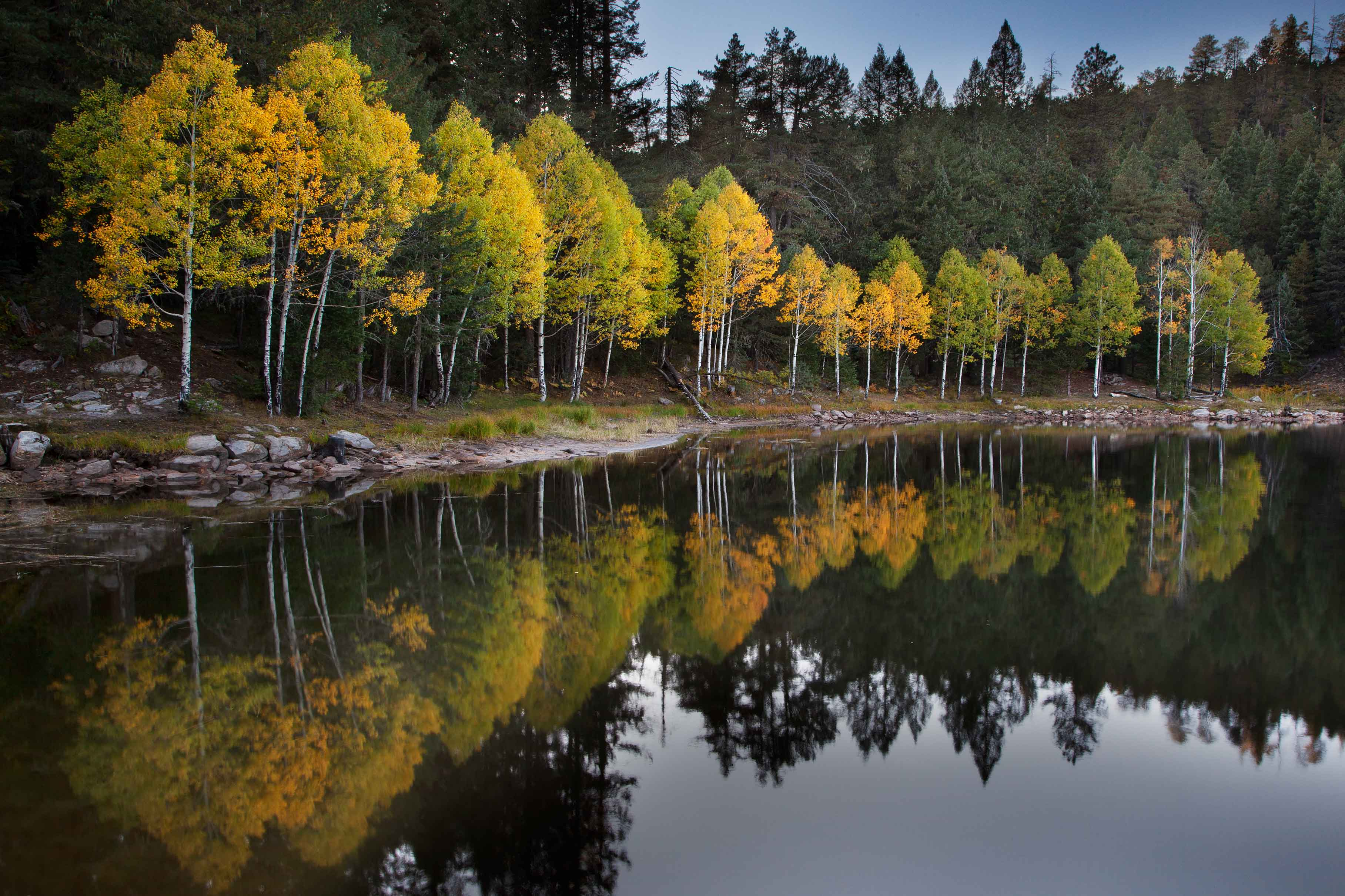 Aspen trees in autumn at Bear Canyon Lake on the Mogollon Rim, Arizona