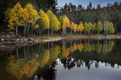 Autumn aspen trees at Bear Canyon Lake atop the Mogollon Rim in Arizona