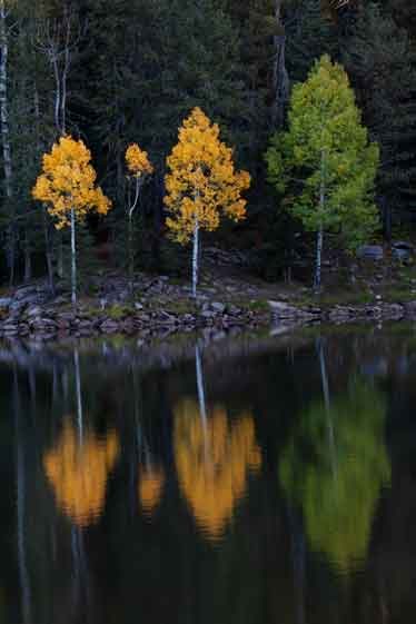 Fall aspen trees at Bear Canyon Lake, Arizona