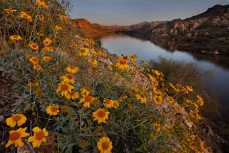 Wildflowers at Canyon Lake, Arizona. These are blooming Brittlebrush