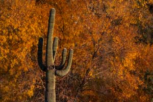 Saguaro cactus in autumn along Cave Creek in southern Arizona