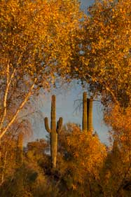 "Saguaro cactus and autumn trees in the ""Jewel of the Creek"" area of Cave Creek, Arizona"