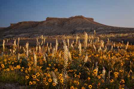Wildflowers (Blackeyed Susans) near the rim of Coal Mine Canyon on the Navajo and Hopi Reservations in northern Arizona