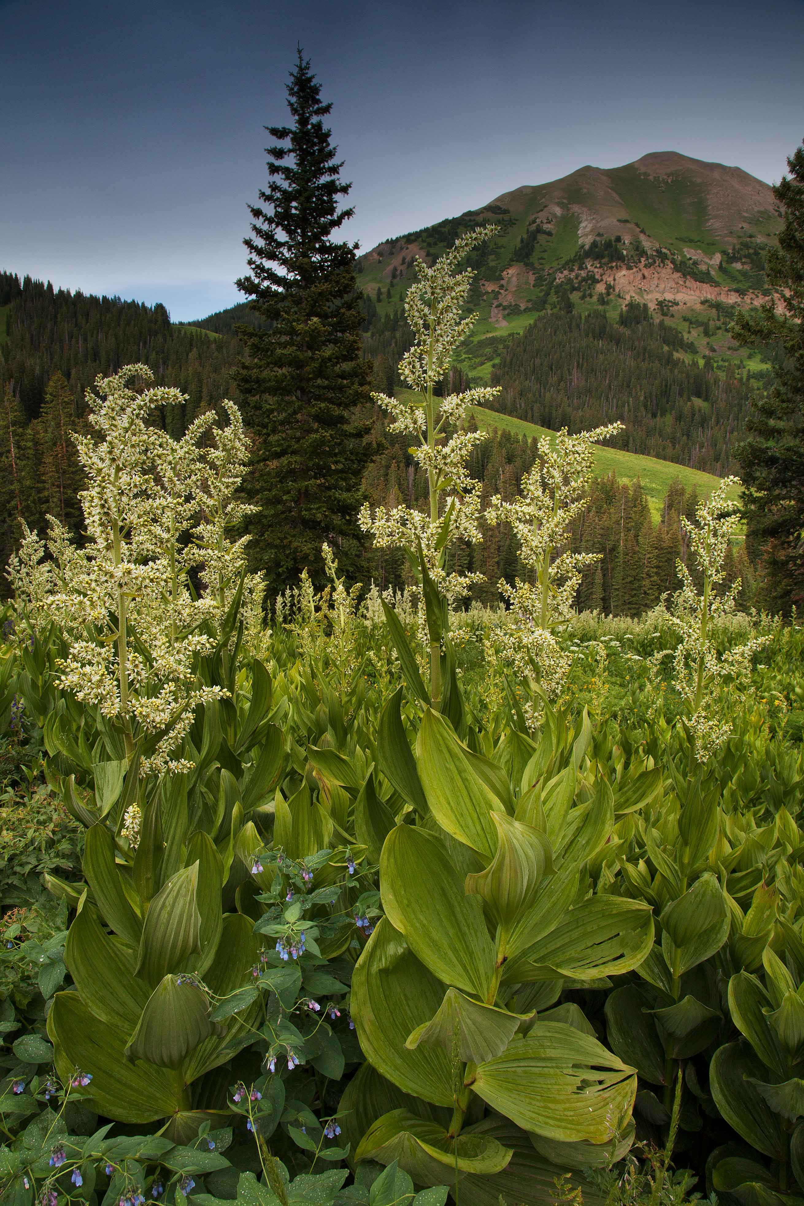 Corn Lilies and such in the Colorado Rocky Mts.