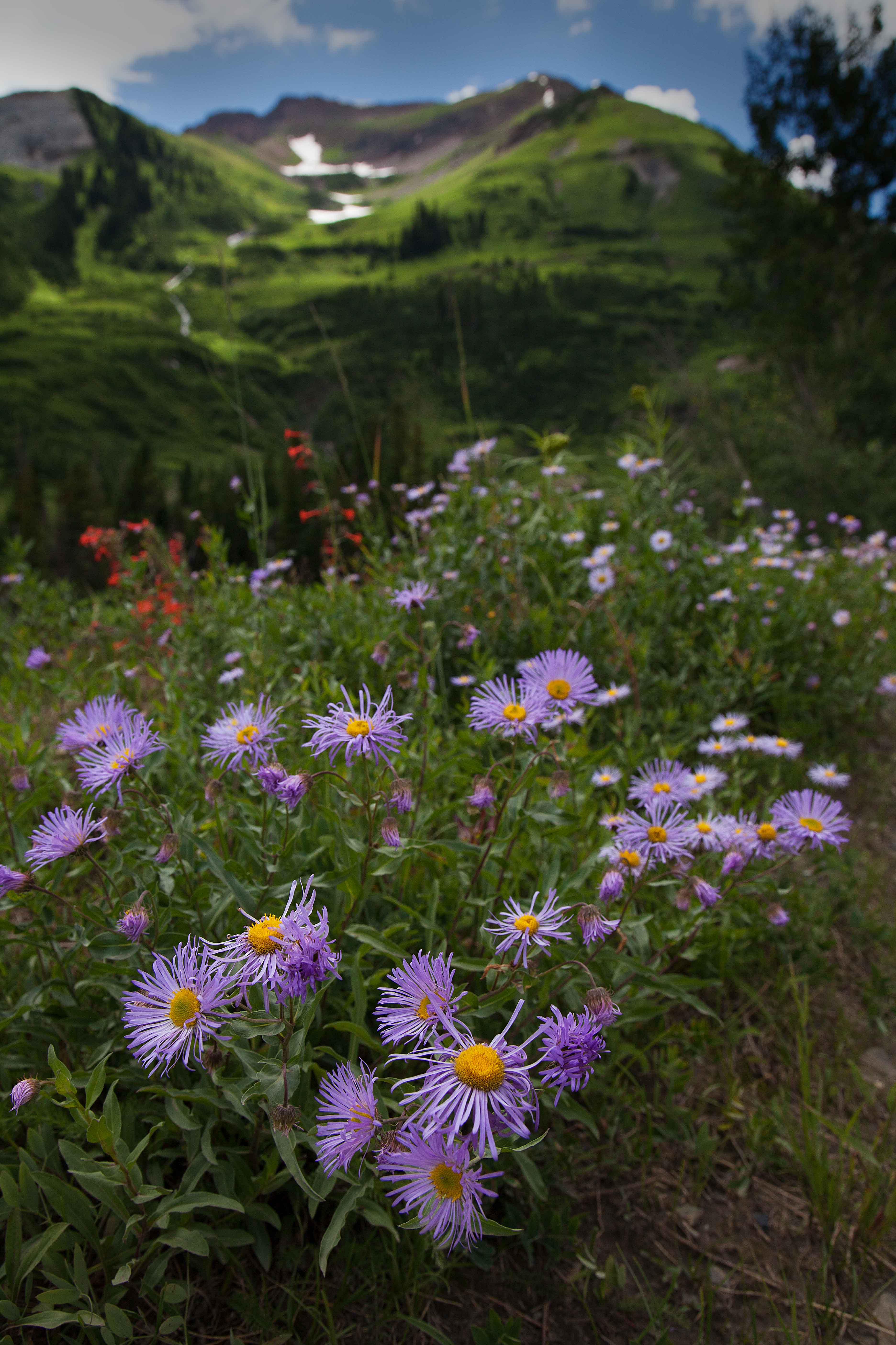 Wildflowers along the East River on the Gunnison National Forest in the Colorado Rocky Mts.
