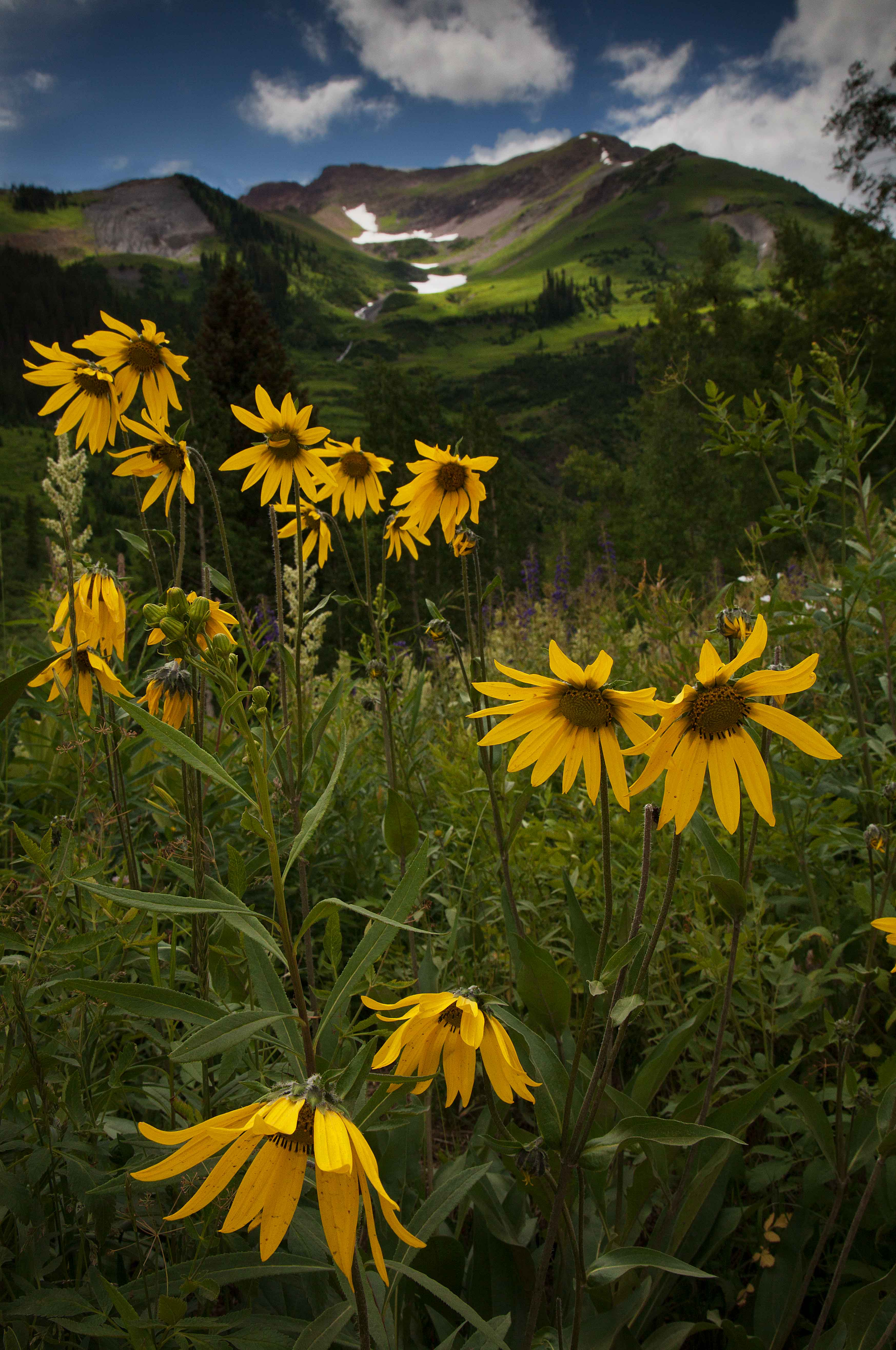 Wild Sunflowers in the Colorado Rocky Mts.