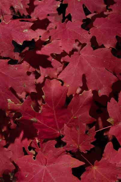 Maple leaves in autumn in Ash Creek in the Galiuro Mts. of southern Arizona
