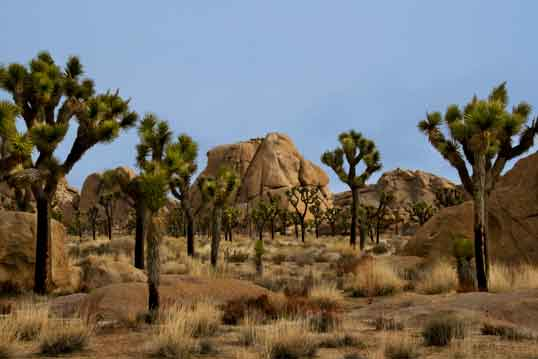 Joshua Trees at Joshua Tree National Park in the Mojave and Colorado Deserts of southern California