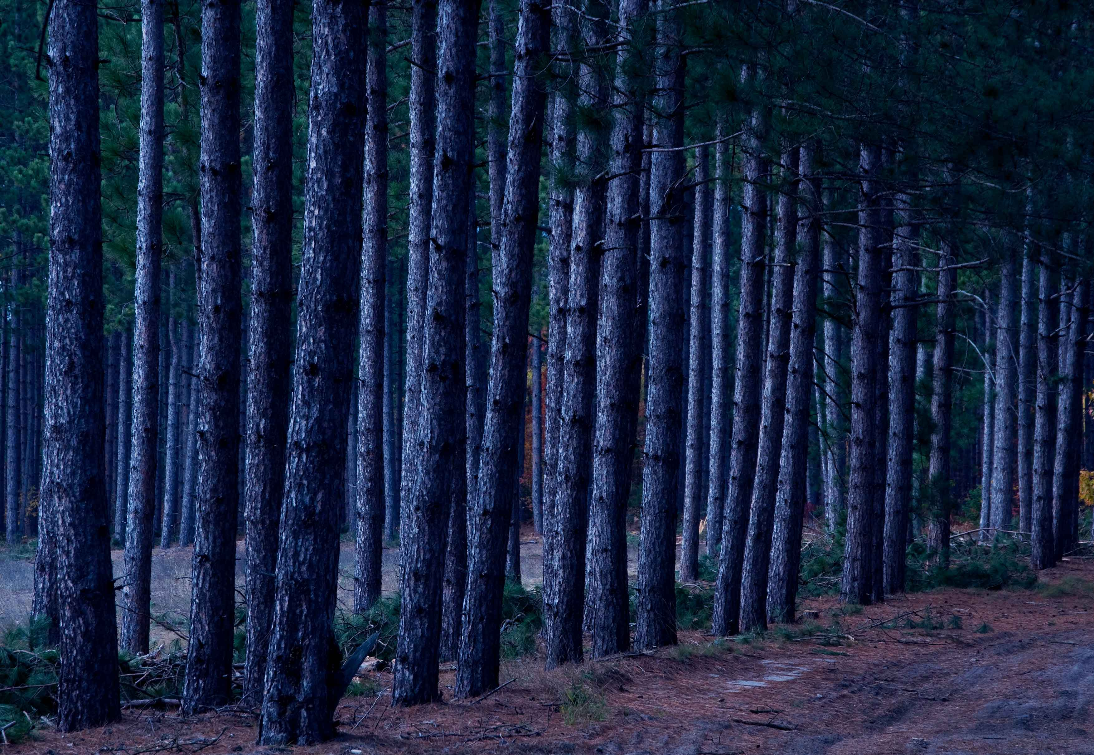 Pine trees in Crawford County, Michigan