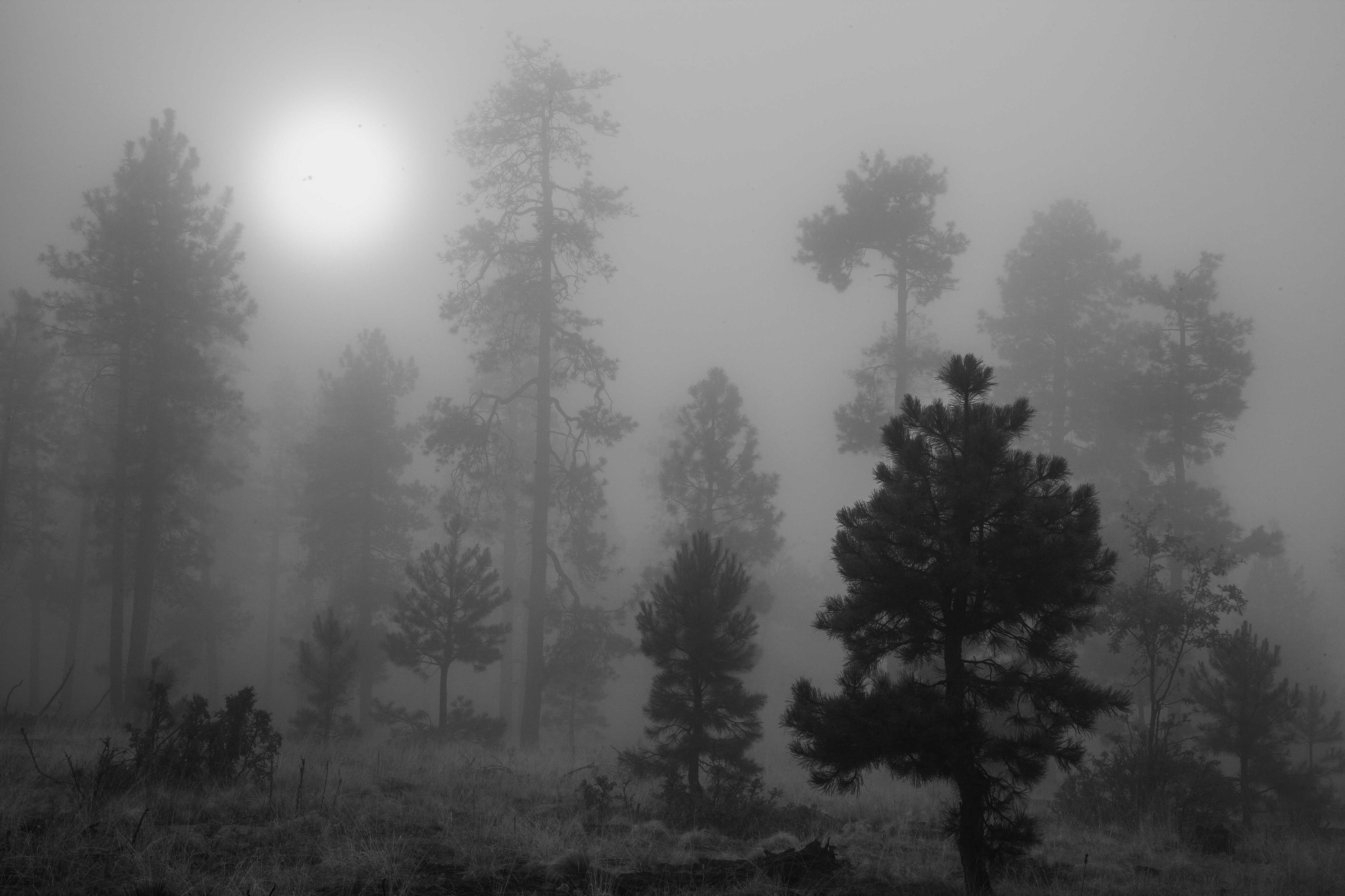 Foggy forest atop Arizona's Mogollon Rim