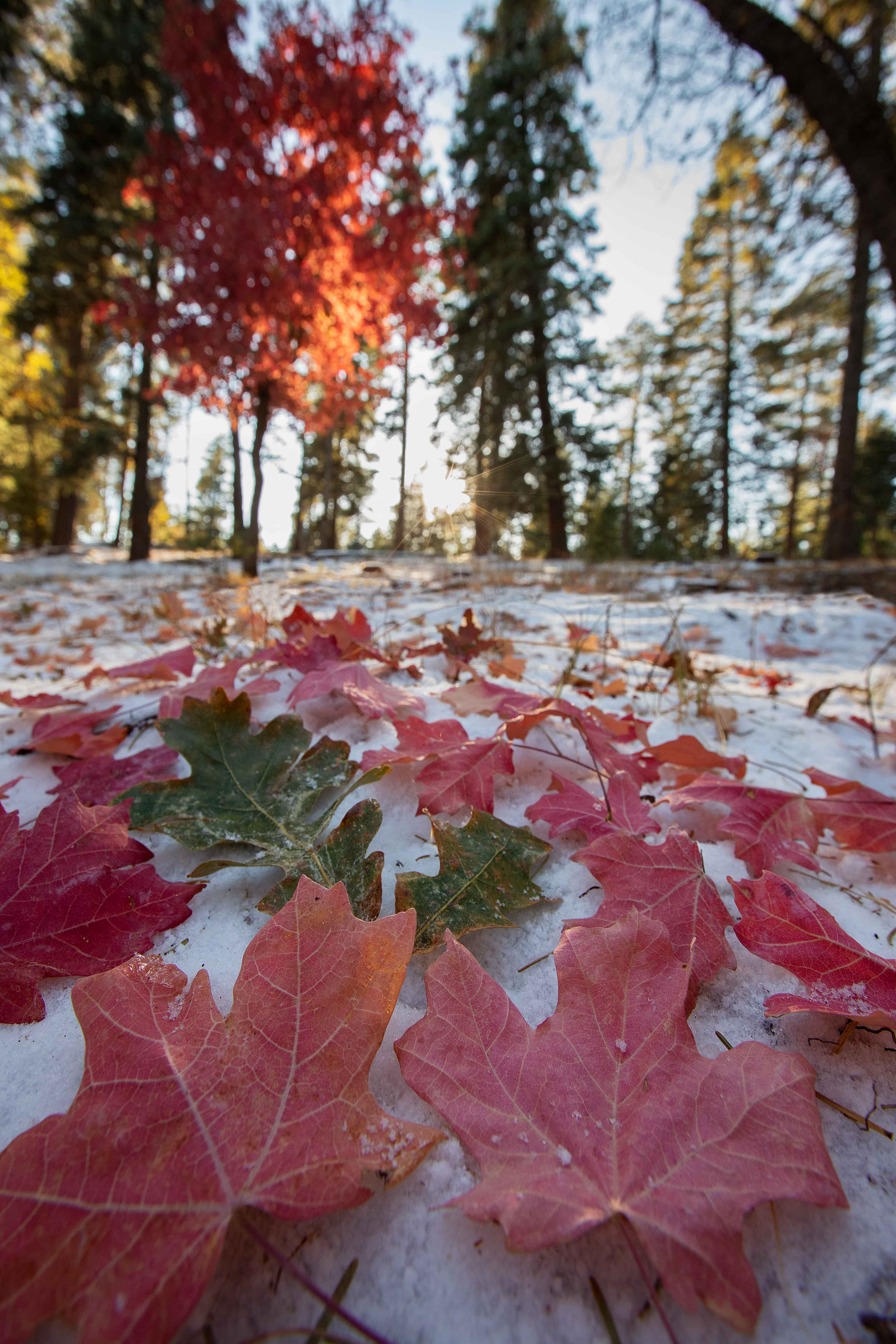 As fall turns to winter, Maple leaves rest upon the first snow of the year on Arizona's Mogollon Rim