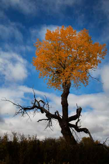 Tree with fall colors along the Puerco River in northern Arizona