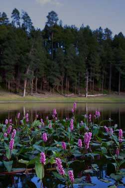 Wildflowers at Potato Lake on the Mogollon Rim, Arizona