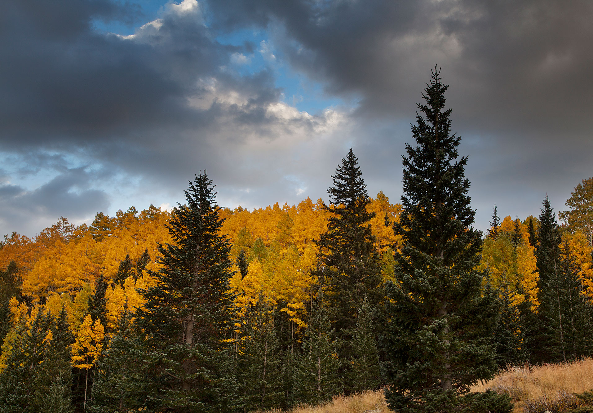 Aspens and pines in autumn in the San Francisco Peaks of northern Arizona