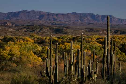 Saguaro cactus and trees in autumn along the San Pedro River in southern Arizona