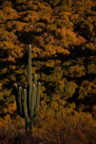 A saguaro cactus and autumn trees along the San Pedro River in southern Arizona