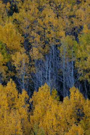 Aspen trees with fall color at Lockett Meadow in the San Francisco Peaks of northern Arizona