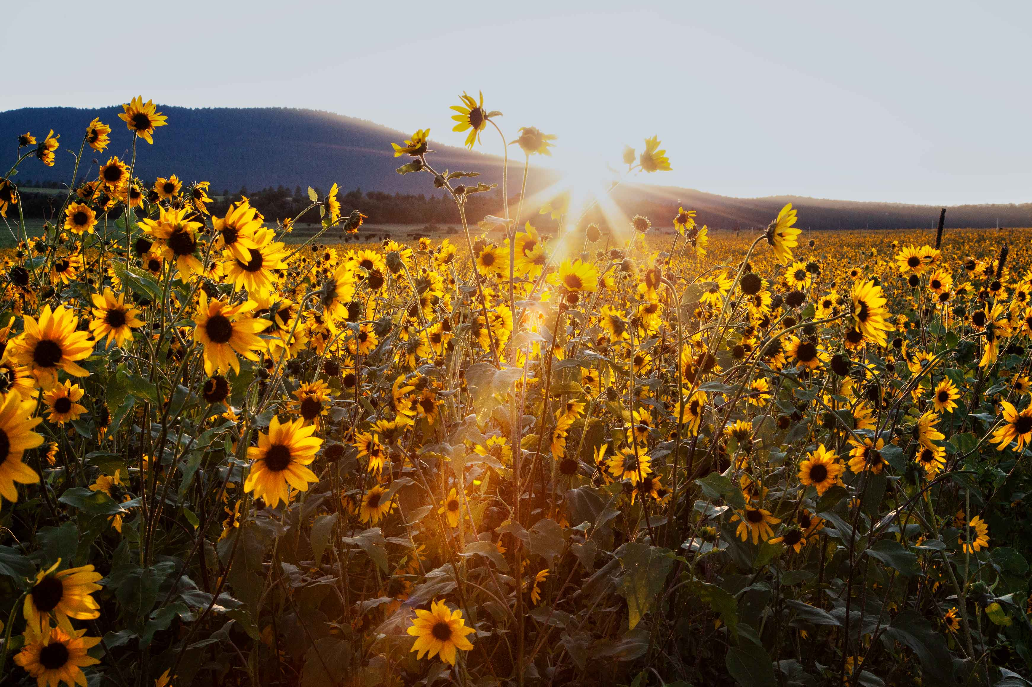 Wild Sunflowers in Arizona