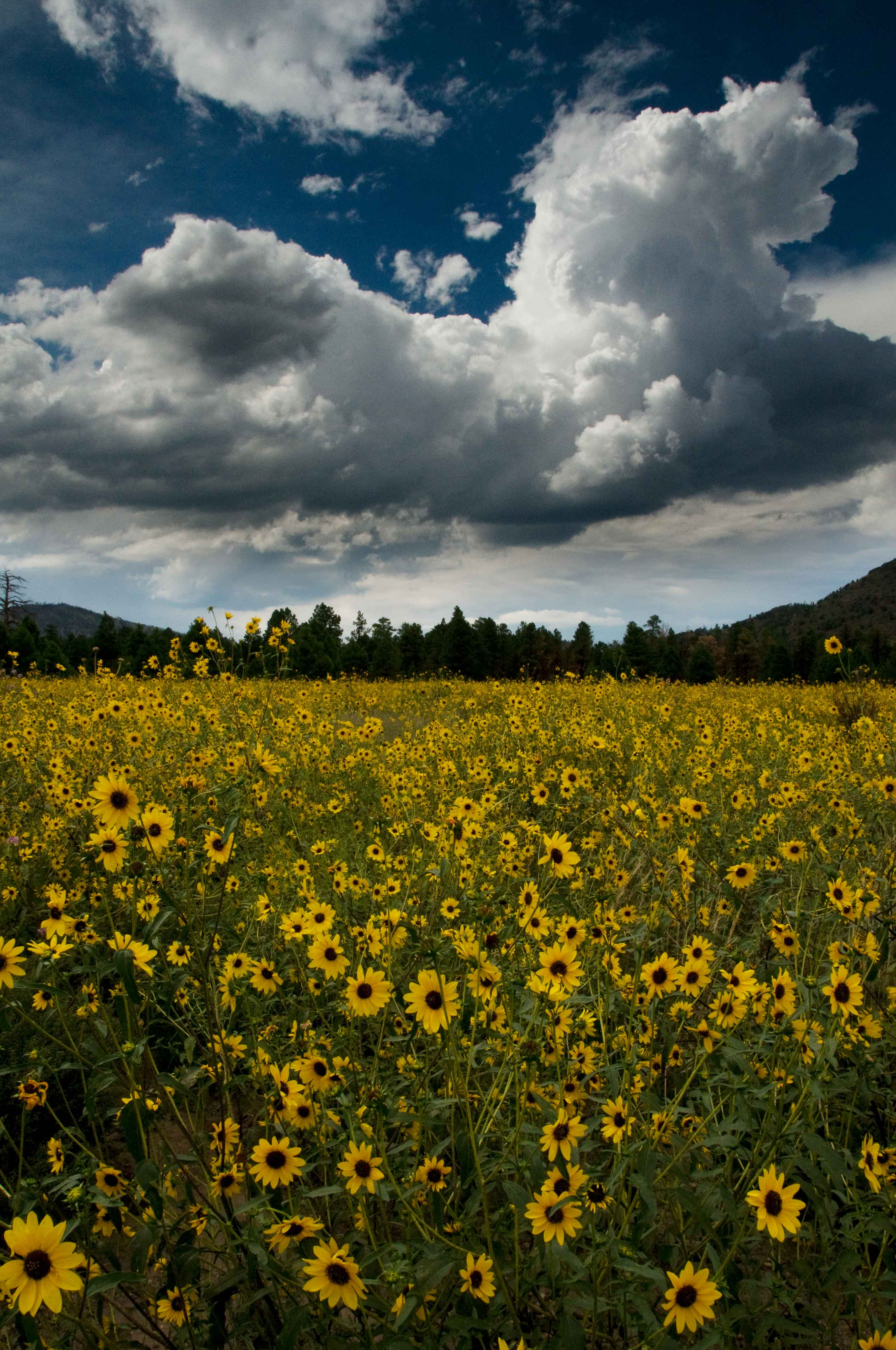 Wild sunflowers in northern Arizona