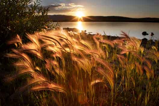 Foxtails at sunset at Big Lake in the White Mts. of eastern Arizona
